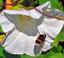 Bee On Flower 0006 by mike1242