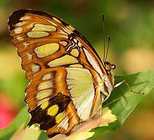 Butterfly by Steve  Taylor