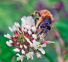 Bee On Flower 0012 by mike1242