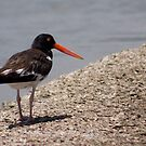An American Oystercatcher by Regenia Brabham