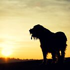 Italian Spinone Sunset by heidiannemorris