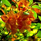 Orange Rhododendron by Trevor Kersley