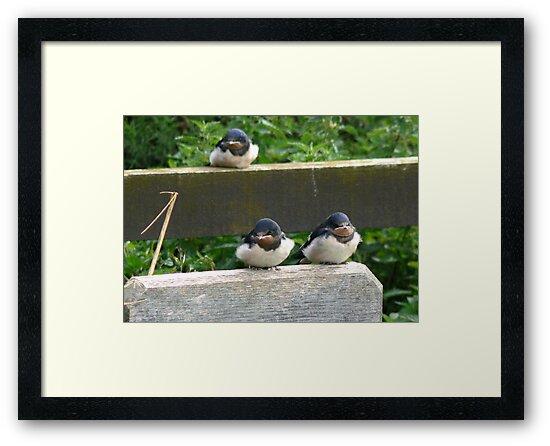 Swallow Chicks  by Trevor Kersley