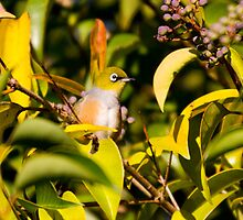 The silvereye by houenying