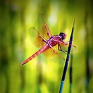 Orange Dragonfly by NEmens