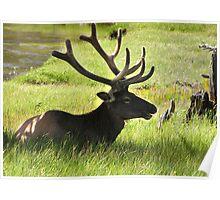 Elk Contemplation Poster