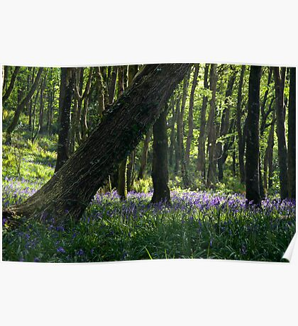 Courtmacsherry Bluebells Poster