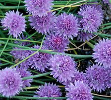 Chive Flowers by scooterdude
