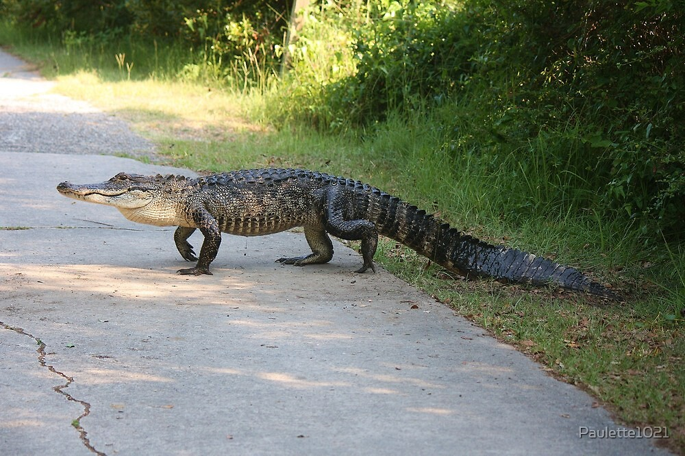Gator Crossing the Road by Paulette1021