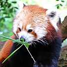 Red Panda by Malcolm Chant
