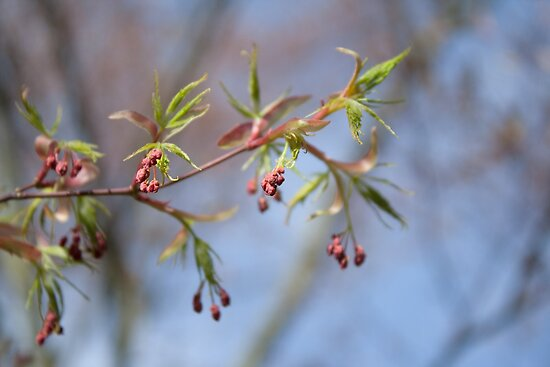 Red Buds, Blue Sky by Helen K. Passey