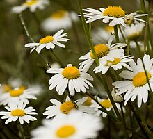 A Field of Daisies, Kensington Gardens, London by kael