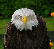 Bald Headed Eagle by IngridSonja