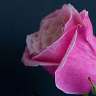 Rose Bud by DIANE  FIFIELD