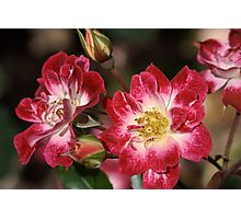 flower-cream-pink-red-roses Photographic Print