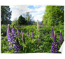 The Cairngorms: Lupins Galore Poster