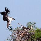 Osprey Touchdown by WTBird
