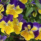 Pansies in the garden by eoconnor