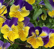 Pansies in the garden by eoconnor