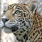 Jaguar - Akron Zoo by Katherine Haluska