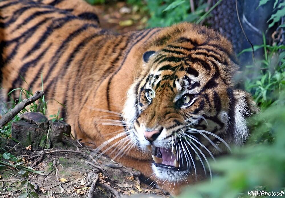 Unhappy Tiger by Katherine Haluska