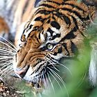 Unhappy Tiger2 by Katherine Haluska