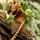 Goodfellows' Tree Kangaroo by Sandra Chung