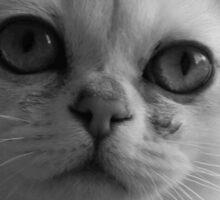 Cute kitten Burmilla in Grey Sticker