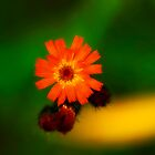 Wildflower by WarrenMangione