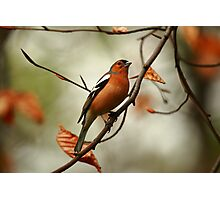 Autumnal Chaffinch Photographic Print