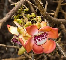 Exotic Cannonball Tree Flowers - Honolulu, Hawaii by Georgia Mizuleva