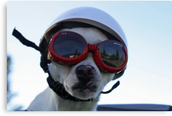 Chihuahua and the Bike Safety Message by Corri Gryting Gutzman