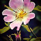 A Wild Rose by Vicki Field