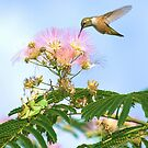 Rufous Hummingbird in Mimosa Tree with Grasshoppers by Diana Graves Photography