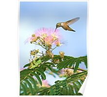 Rufous Hummingbird in Mimosa Tree with Grasshoppers Poster