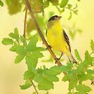 Male American Goldfinch by Diana Graves Photography