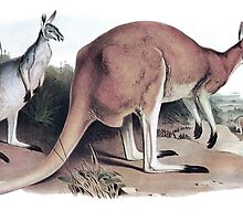 The Red Kangaroo by marmur