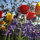 Cottage Garden Flowers with bluebells, red and yellow tulips and apple blossom by Andy Newham