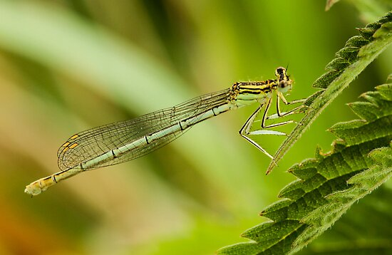 White-Legged Damselfly by Robert Abraham