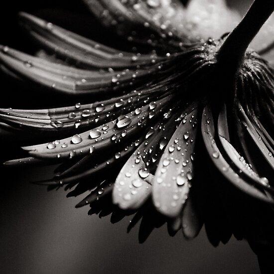 Gerbera by Christine  Wilson Photography