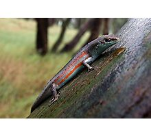 Southern Rainbow Skink Photographic Print