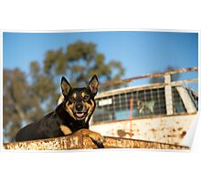 King Of The Kelpies & His Hilux Ute....... Poster