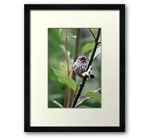 Striated Thornbill Framed Print