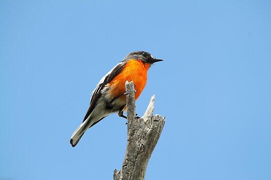 Flame Robin by EnviroKey