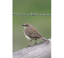 Richard's Pipit Photographic Print