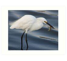 Egret catching a Shrimp Art Print