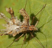 Bizarre african assasin bug (Pephricus) by Etwin