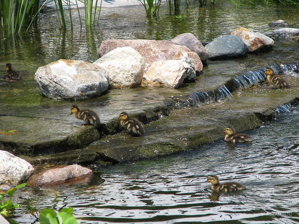 Baby Mallards by swaby