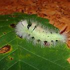 Calliteara pudibunda - Larva by dshones