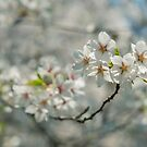 Cherry Blossoms by Valerie Rosen